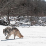 Farm Bureau lauds no-wolf ruling